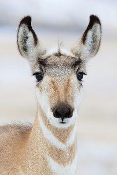 Pronghorn Portrait | Flickr - Photo Sharing!