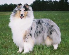 A blue merle collie like our Sonny....he was the sweetest boy.