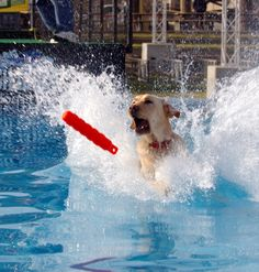 Dock Jumping - Distance Jumping Dock: The dock in most competitions is usually 35 to 40 feet long, 8 feet wide and 2 feet from the water's surface. Artificial turf, rubber or carpet covers the dock so the dog can get traction while running.