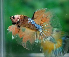 What a lovely betta Koi Betta, Betta Aquarium, Betta Tank, Halfmoon Betta, Fish Tank, Tropical Freshwater Fish, Freshwater Aquarium Fish, Tropical Fish, Beta Fish