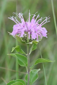 Edible Wild Plants of the Pacific Northwest  bee balm
