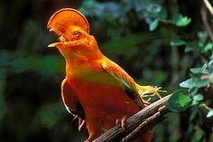 Pássaros: Pássaros da Amazónia Associados ao Bambu
