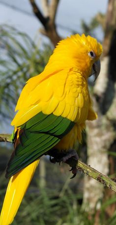Golden Conure or golden parakeet (Guaruba guarouba) Amazon, Brazil. What a beauty!