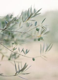 Olive tree - want one for my garden!