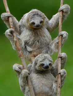Double The Sloth | Cutest Paw