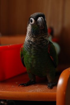 Looks like my green cheeked Conure, Parker! <3