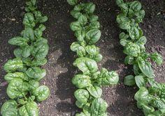 Sprouts, Gardening, Vegetables, Vegetables Garden, Garten, Vegetable Recipes, Brussels Sprouts, Lawn And Garden, Horticulture