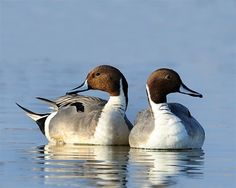 Pintails  #ducksunlimited