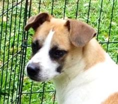 Ryder~ Great dog! is an adoptable Jack Russell Terrier Dog in Stroudsburg, PA. 6/19/13 Meet Ryder...He is a real love bug! This guy just wants a Family. He is so loving, sweet and gentle. He loves bei...
