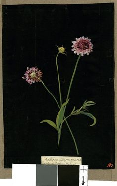 Scabiosa Atropurpurea (Tetranfria Monogynia), from an album (Vol.VIII, 80). 1776 Collage of coloured papers, with bodycolour and watercolour, on black ink background