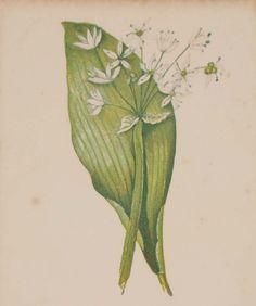 Antique Botanical prints by Anne Pratt titled, Broad-Leaved Garlic. Pratt was one of the best known botanical illustrators of the time. Allium, Wild Flowers, Jack B, Garlic, Gallery Website, Vintage Botanical Prints, Antique Maps, The Visitors, Fine Art