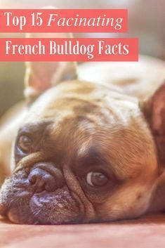 15 French Bulldog Facts That You May Find Fascinating