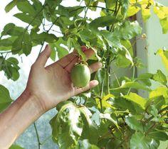 Siemenestä kasvatettu kärsimyshedelmä teki satoa kolmantena vuonna. Se talvehtii kuivassa ja viileässä paikassa.