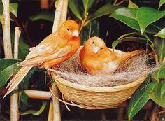 Animaux - Nid Oiseaux jaunes
