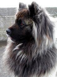 Long Haired Akita! <3 SO BEAUTIFUL