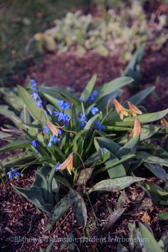 Trout lily (Erythronium americanum) and Siberian squill (Scilla siberica)