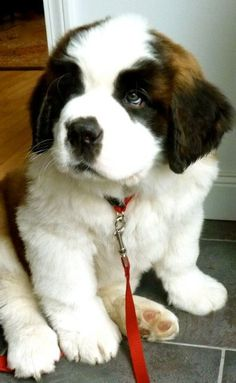 St. Bernard puppy with a look that would melt anyone's heart. Look at his paws! Noooo; he won't get big; not at all. hehe.