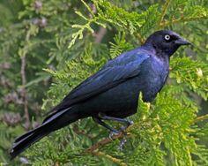 Brewer's Blackbird Euphagus cyanocephalus