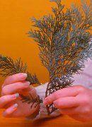 Tuja szaporítás - gazigazito.hu Pineapple, Herbs, Fruit, Pine Apple, Herb, Medicinal Plants