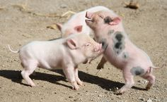 Don't mess with a mini-pig #animals #pigs