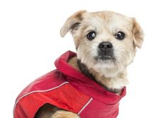 My Dog Trembling and Shivering is it because he is cold or sick?.  Does your dog tremble, if so why do you think they do it? Are they nervous, are they cold or are they sick? Tell us about your dog. http://petsplease.com.au/news/my-dog-trembling-and-shivering-is-it-because-he-s-cold-or-is-he-sick-66