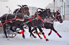Тройка СПК «ПКЗ «Вологодский» с коренником Нельсон,соревнования на ЦМИ. январь 2013 год - Orlov
