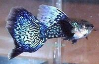 QUALITY GUPPYS INCLUDING RED EYE ALBINOs FOR SALE at Aquarist Classifieds