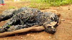 This dog was discovered in the Uttar Pradesh region of India covered in hot, sticky tar. Someone threw this gentle dog in the...