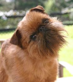 Brussels Griffon- I LOVE LOVE LOVE these little guys- so ugly they are cute and more personality than that little body can hold!