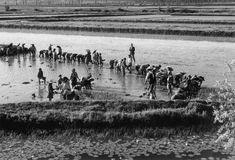 Cultura de arroz, década de 50/60, Artur Pastor