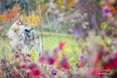 Czechoslovakian wolfdog - Angas z Vlčej hory #wolfdog #czechoslovakianwolfdog #photography #beautifullife #beautifulday #autumn