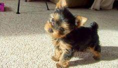 HUGE puppy haul! Yorkie