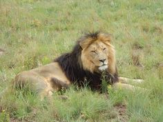 south africa animal lion 19