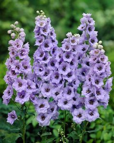 "Delphinium is a genus of about 300 species of perennial flowering plants in the family Ranunculaceae. The common name ""larkspur"" is shared between perennial Delphinium species and annual species of the genus ""Consolida""."