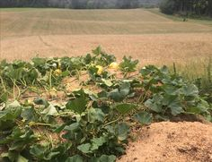 En eneste gresskarplante ble 10 meter i diameter of fikk over 30 gresskar Plants, Flora, Plant, Planting