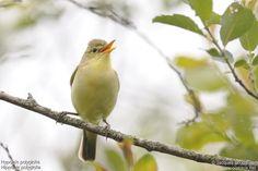 Melodious Warbler (Hypolaïs polyglotte)