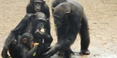 Good news for chimps in Liberia! MetLife stops funding to NYBC - American Anti-Vivisection Society