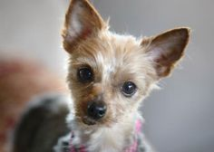 Adopt Raine, a lovely 7 years  2 months Dog available for adoption at Petango.com.  Raine is a Terrier, Yorkshire and is available at the National Mill Dog Rescue in Colorado Springs, Co. www.milldogrescue... #adoptdontshop #puppymilldog #rescue #adoptyourfriendtoday