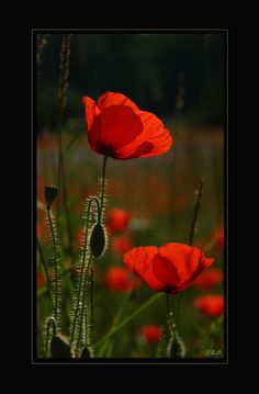 Extra in love with poppies lately
