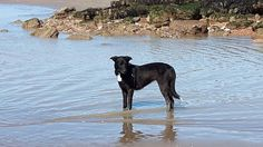 My Gracie. Enjoying the water. She is a Collie, Kelpie cross Collie Breeds, Water, Dogs, Animals, Gripe Water, Animales, Animaux, Pet Dogs, Doggies