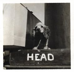 """Vintage Snapshot """"Onboard Ship"""" Cocker Spaniel Dog Stands On Boat Sign For The Head Small Mini-Photo Old Photo Found Vernacular Photography by SunshineVintagePhoto on Etsy https://www.etsy.com/listing/598923755/vintage-snapshot-onboard-ship-cocker"""