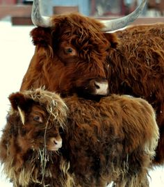Highland cow and calf. My favorite cattle Vegan Animals, Farm Animals, Animals And Pets, Cute Animals, Scottish Highland Cow, Highland Cattle, Beautiful Creatures, Animals Beautiful, Bison