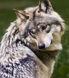 Lobo gris mexicano, en peligro de extinción