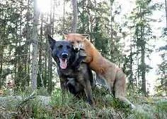 Real-life Fox and Hound Are Best Friends