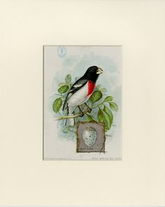 "1898 Rose Breasted Grosbeak Print from the American Singer Series Sewing Machine Song Bird Card Set - J.L. Ridgway - Matted 8x10"" by AntiquePrintBoutique on Etsy"