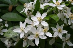 Mexican Orange Blossom; fragrant flowers in summer through autumn.