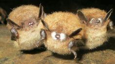 Mais de 5,7 milhões de morcegos mortos por fungo Mais info.: http://www.cbc.ca/news/canada/thunder-bay/story/2013/07/29/tby-white-nose-syndrome-bats-northern-ontario.html http://whitenosesyndrome.org/ e  https://www.facebook.com/pages/Centro-Ci%C3%AAncia-Viva-do-Alviela-CARSOSC%C3%93PIO/170344009996