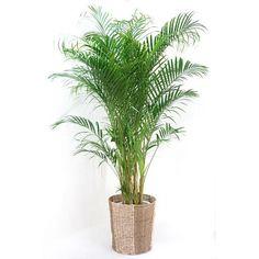 アレカヤシ・観葉植物・アレカヤシ(アレカヤシ)・10号鉢