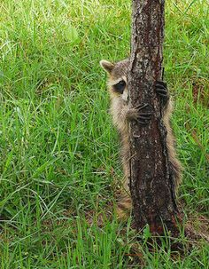The candid life of a raccoon in 26 pictures Zoo Animals, Cute Baby Animals, Animals And Pets, Funny Animals, Strange Animals, Cute Raccoon, Racoon, Baby Raccoon, Beautiful Creatures