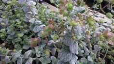 Variety of Seeds & Bulbs. Greek Language, Herb Seeds, Crete, Herb Garden, Evergreen, Perennials, Herbs, Canning, Flowers